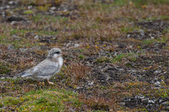 A chick of a tern, Longyearbyen Svalbard royalty free stock photography