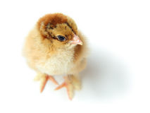 Chick top view Stock Image