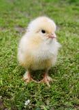 chick trawy blisko zielonych wiosny do żółtego Zdjęcia Stock