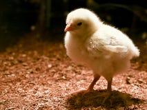 chick trochę Fotografia Royalty Free