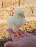 chick trochę Obrazy Stock