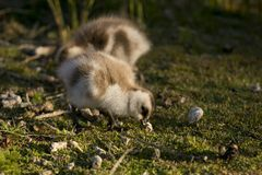 Chick of Upland Goose Royalty Free Stock Photo