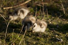 Chick of Upland Goose Stock Photos
