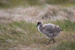 Chick upland goose. Walking around Falkland Islands royalty free stock image
