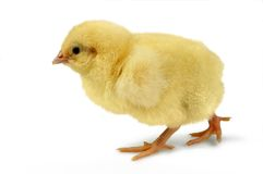 Chick on the walk Stock Images