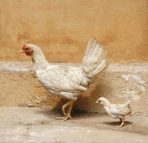 Chick walk follow mother Stock Images