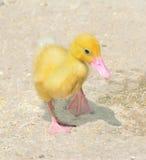 Chick walking Stock Image