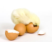 Chick that wants back in the egg Stock Photos