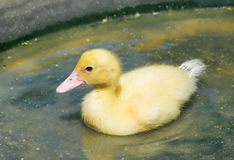Chick on the water Stock Photography