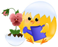 Chick watering pansies Stock Photo