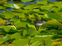 A chick on the waterside in the middle of the sunny day royalty free stock photos