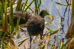 A chick on the waterside in the middle of the sunny day royalty free stock photo