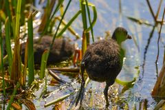 A chick on the waterside in the middle of the sunny day royalty free stock image