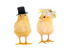 Chick wedding. Couple of newborn yellow easter chicks dressed as a bride and groom for a wedding Royalty Free Stock Image