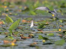 A chick of a whiskered tern sits on a water plants. Waiting for her parents Stock Photos