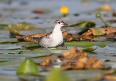 A chick of a whiskered tern sits on a water plants. Waiting for her parents Stock Photography
