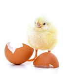 Chick on white background Stock Photos