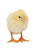 Chick on white background stock photo