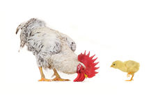 Chick and  white cock Stock Image