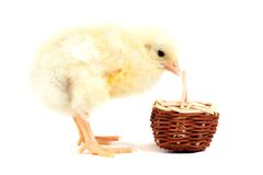 Chick with wicker basket Stock Image