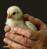 chick Wielkanoc Zdjęcie Stock