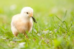 Chick with worm. In beak on grass Stock Photos