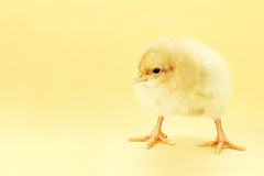 Chick On Yellow Background Stock Photos