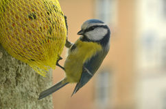 Chickadee με τα τρόφιμα Στοκ εικόνες με δικαίωμα ελεύθερης χρήσης