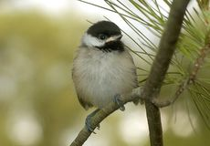 Chickadee μωρών που σκαρφαλώνει στον κλάδο δέντρων πεύκων στοκ φωτογραφίες