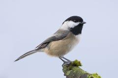 chickadee πουλιών μικρό Στοκ εικόνα με δικαίωμα ελεύθερης χρήσης