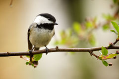 chickadee πουλιών Στοκ Εικόνες