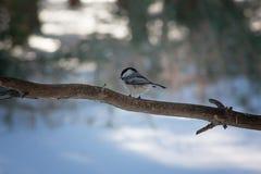 Chickadee που σκαρφαλώνει μικροσκοπικό στον κλάδο Στοκ Εικόνες