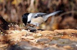 Chickadee στο κούτσουρο Στοκ Εικόνες
