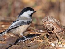 Chickadee στο κούτσουρο Στοκ Φωτογραφίες