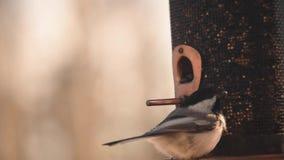 Chickadee στο birdfeeder απόθεμα βίντεο