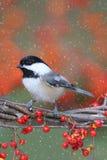 chickadee ветви Стоковое фото RF