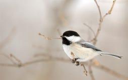 chickadee ветви Стоковые Фото