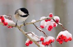 Chickadee зимы черно- покрытый (atricapillus Poecile) Стоковые Изображения