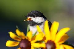 Chickadee и цветок стоковая фотография rf