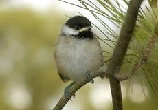 Chickadee младенца садить на насест на ветви сосны стоковые фото