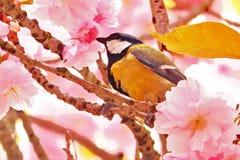 Chickadee на вишневом цвете Стоковое Фото