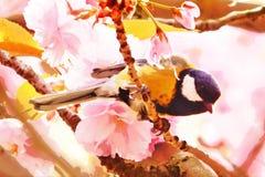 Chickadee на вишневом цвете Стоковое Изображение