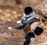 Chickadee на журнале Стоковое фото RF
