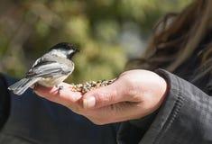 Chickadee на правой руке Стоковое Изображение