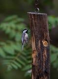 Chickadee на фидере Стоковое Изображение RF