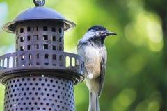 Chickadee на фидере птицы Стоковая Фотография