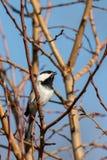 Chickadee петь Стоковые Фотографии RF