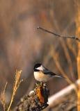 chickadee покрынный чернотой Стоковые Изображения RF
