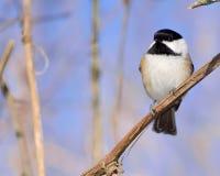 chickadee покрынный чернотой Стоковые Фото