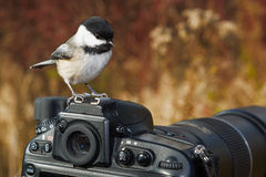 chickadee покрынный чернотой Стоковое фото RF